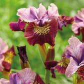 Iris sibirica 'Miss Apple'