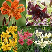Lily Tiger Collection