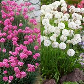 Armeria White/Pink Collection