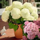 Hydrangea Annabelle Collection