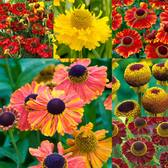 Helenium Mixed (Loose Rooted)