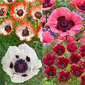 Papaver Unusual Collection