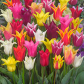 Tulip Lily Flowering Mixed