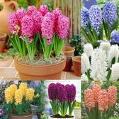Hyacinth Bedding Size Collection 14/15cm
