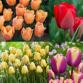 Tulip Connoisseur Collection