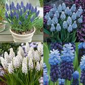 Muscari Majestic Collection