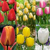 Darwin Tulip Collection