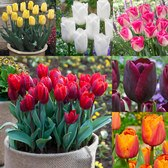 Tulip Triumph Collection 11/12cm