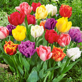 Tulip Double Early Mixed 11/12cm