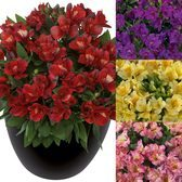 Alstroemeria Inticancha Collection (Compact Habit)