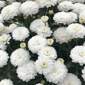 Argyranthemum aramis Double White