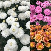 Argyranthemum aramis Collection