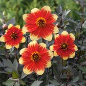 Dahlia Happy Days Red-Yellow Bicolour