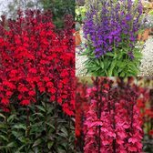 Lobelia Starship Collection