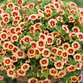 Calibrachoa bicolour Hula Gold
