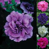 Petunia Tumbelina Super Scented Collection