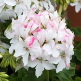 Geranium Summer Twist White