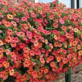 Calibrachoa Calita Apricot Shades