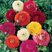Giant Asiaticus Ranunculus Mixed
