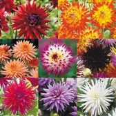 Cactus Dahlia Collection