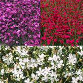 Dianthus Alpine Collection