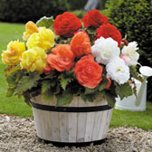 Begonia Mighty Mini Superba Collection