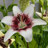 Lilium Tribal Kiss