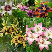 Lilium Bicolour Asiatic Collection