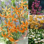 Lilium Martagon Collection