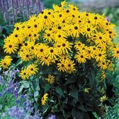 Rudbeckia Goldsturm (7cm Modules)