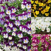 Trailing Pansy Cool Wave Collection