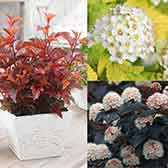 Physocarpus Collection