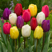 Tulip Compact Mid-Season Mixed