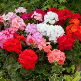 Geranium Super Horizon Mix (Garden Ready)