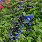 Salvia Black and Bloom