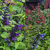 Vigorous and large flowered Salvia