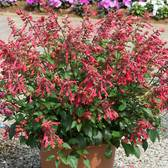 Salvia Salmia Red-Orange