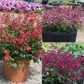 Salvia Salmia Collection