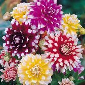 Dahlia Decorative Bicolour Mix