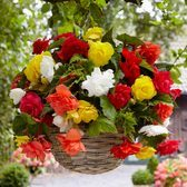 Giant Cascading Begonias Mixed