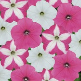 Petunia Frenzy Candyfloss Mix