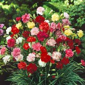 Dianthus Grenadin Mix