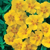 Helianthemum Golden Queen