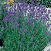 English Lavender augustifolia Compact Scented
