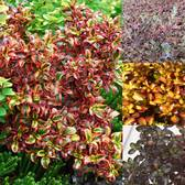Coprosma Collection