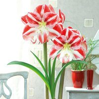 Amaryllis Clown 34+