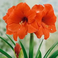 Amaryllis Orange Sovereign 34cm+