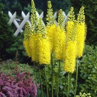 Eremurus Moneymaker