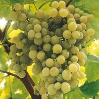 Grape 'Madeleine Sylvaner'