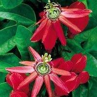 Passiflora Red Passion